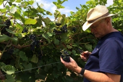 Jim inspecting the grapes